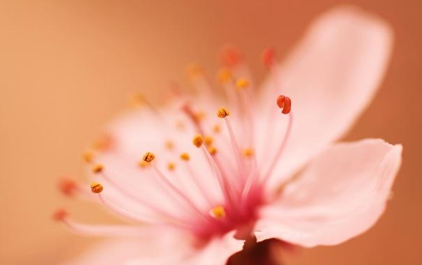 Фото обои цветок, макро, весна, лепестки