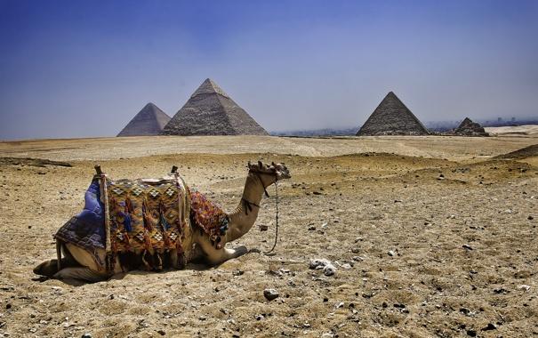 Фото обои верблюд, Египет, пирамиды
