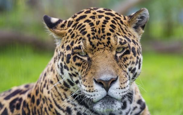 Фото обои кошка, морда, портрет, ягуар, ©Tambako The Jaguar