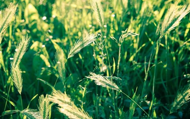 Фото обои пшеница, поле, трава, макро, природа, фото, колоски