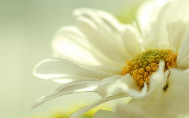 Фото обои белый, цветок, желтый, пастель, бледный