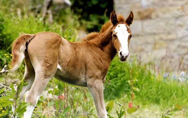 Фото обои лошадь, трава, жеребенок, зелень, хвост, рыжий, морда