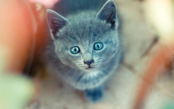 Фото обои взгляд, котенок, серый, дымчатый