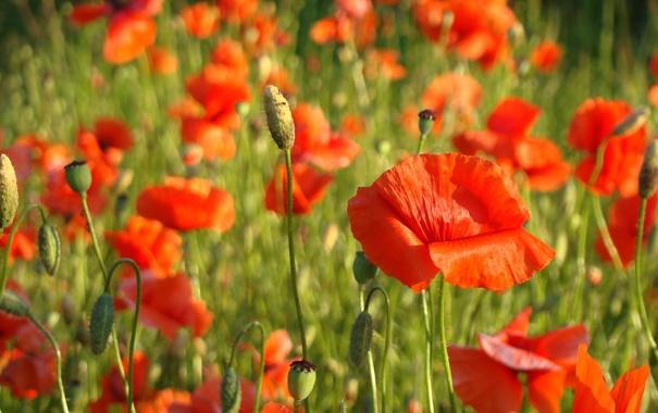Фото обои красный, мак, Poppies