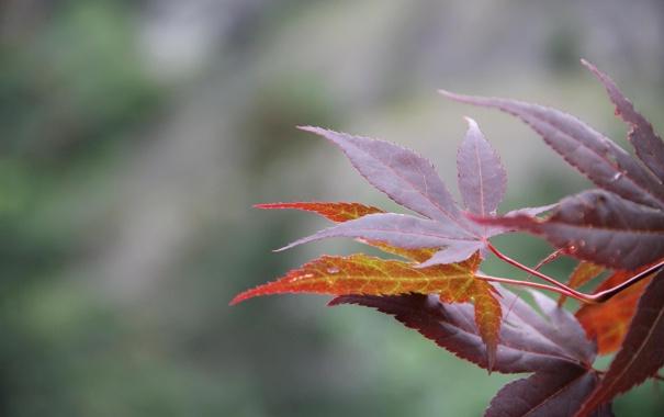 Фото обои листья, макро, клен