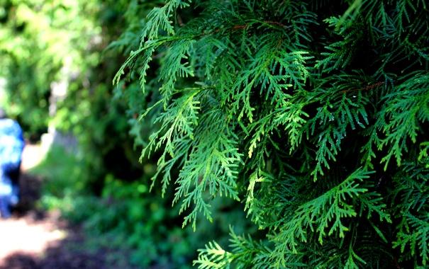 Фото обои зелень, дерево, ветка, весна