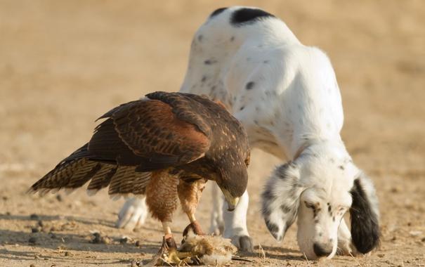 Фото обои собака, сокол, друзья, охотники, птица-хищник
