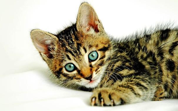 Фото обои кошка, глаза, кот, усы, морда, полосы, лапа