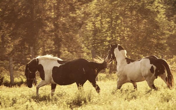 Фото обои кони, лошади, луг