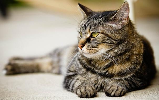Фото обои кот, взгляд, хищник