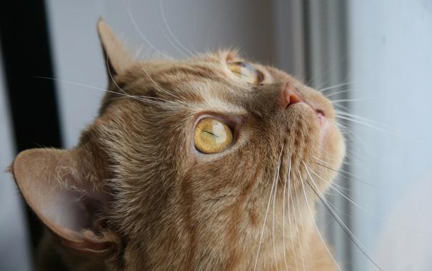 Фото обои yellow eyes, fur, feline