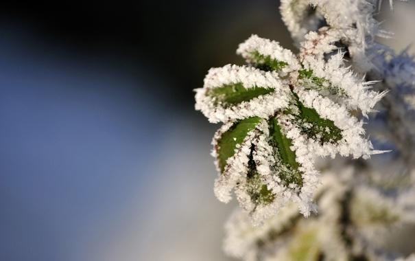 Фото обои фон, фокус, мороз, листья.снег
