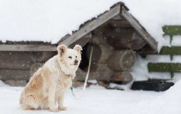 Фото обои взгляд, снег, друг, собака