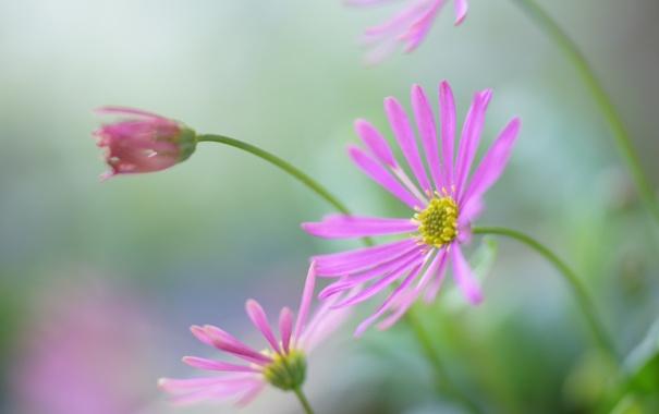 Фото обои цветы, размытость, бутон, розовые