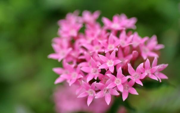 Фото обои зелень, макро, цветы, фокус, розовые, соцветие