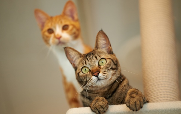 Фото обои кот, взгляд, кошки
