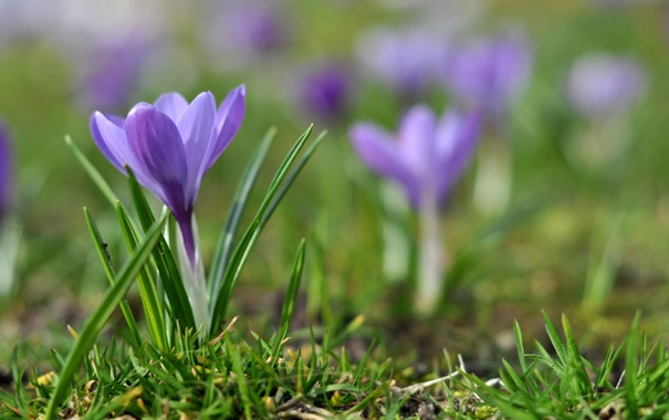 Фото обои цветок, фиолетовый, трава, макро, сиреневый, земля, весна