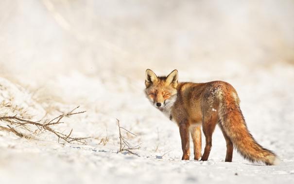 Фото обои зима, смотрит, лиса