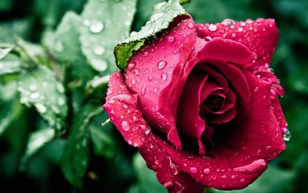 Фото обои цветок, листья, капли, роса, роза