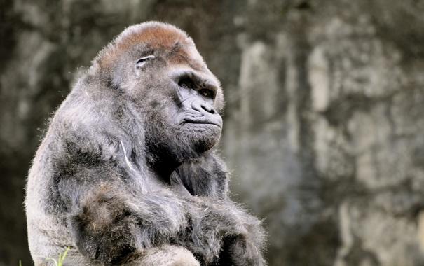 Фото обои животные, горилла, задумалась