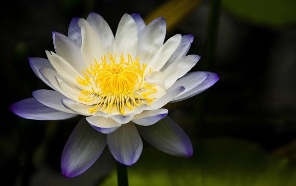 Фото обои фон, лилия, водяная, бело-сиреневая