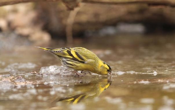 Фото обои лед, вода, птица, весна, пьет, чиж