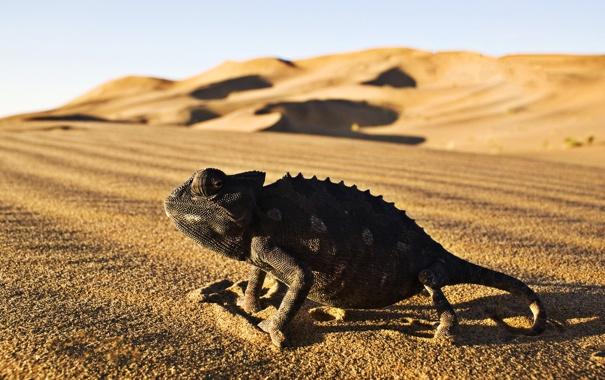 Фото обои desert, Iguana, reptile