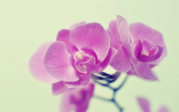 Фото обои розовый, орхидеи, цветы
