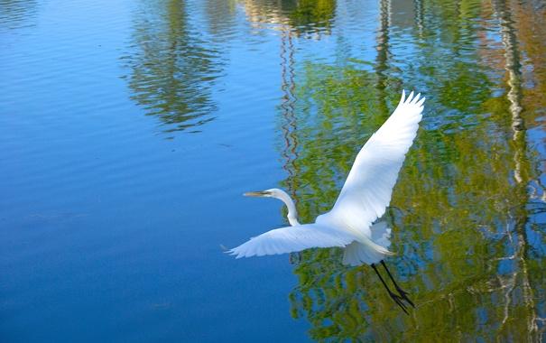 Фото обои вода, птица, крылья, цапля