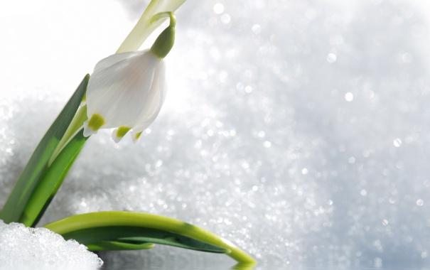 Фото обои цветок, снег, весна, первоцвет