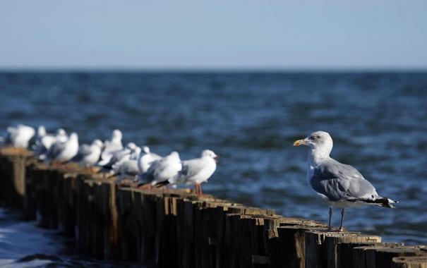 Фото обои море, животные, вода, птицы, океан, птица, чайки