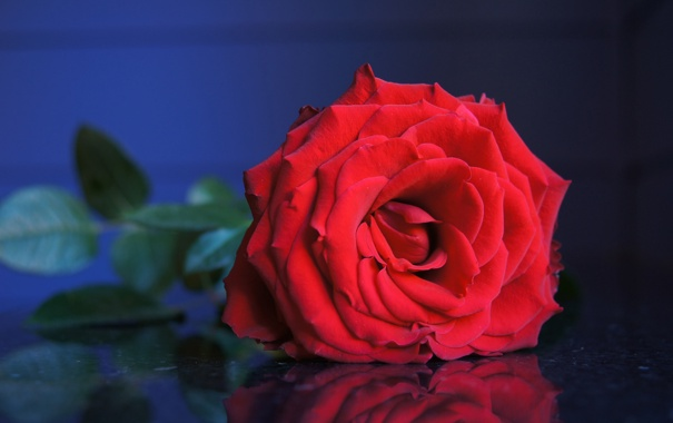 Фото обои цветок, листья, роза, бутон, красная