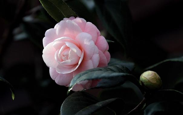 Фото обои листья, бутон, цветение, кустарник, leaf, камелия, shrubs