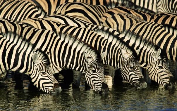 Фото обои природа, река, зебра, африка, водопой