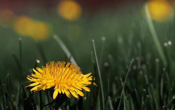 Фото обои Dandelion, Taraxacum officinale, flower