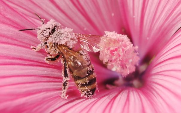 Фото обои природа, цветок, пчела, макро, пыльца