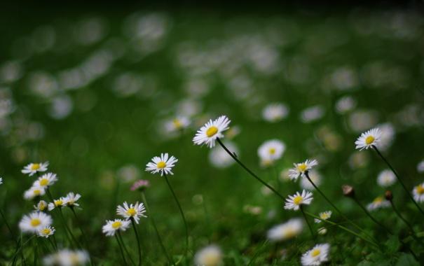 Фото обои зелень, лето, трава, цветы, природа, поляна, ромашки