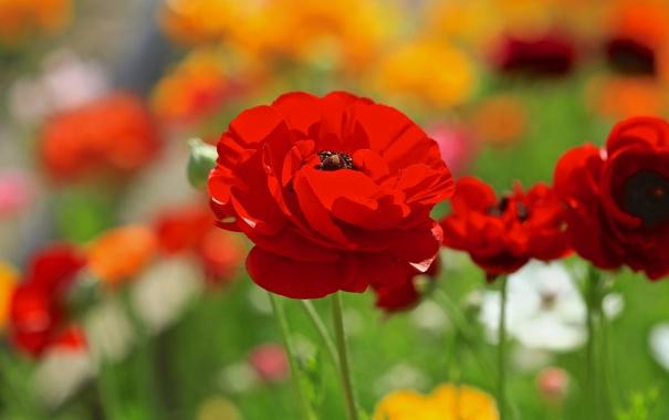 Фото обои красный, цветок, мак, поле, цветы