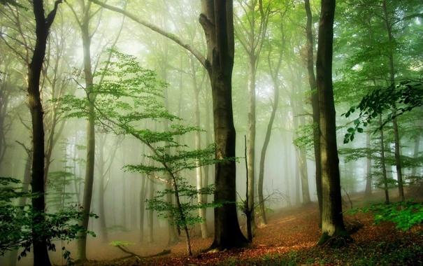 Фото обои природа, лес, деревья, туман