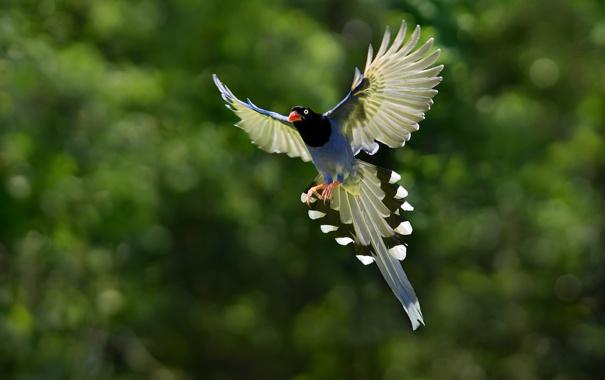 Фото обои полет, птица, крылья, хвост, голубая, сорока