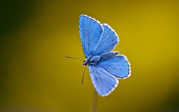 Фото обои бабочки, синий, крылья, стебель, усики, blue, wings