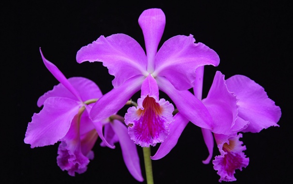 Фото обои природа, экзотика, орхидея, лепестки, растение