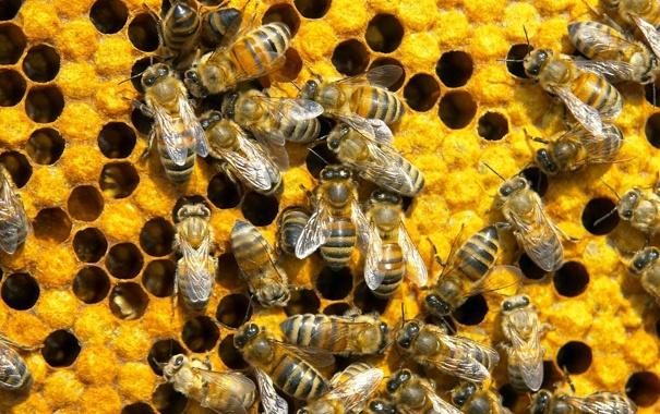 Фото обои соты, пчелы, мед
