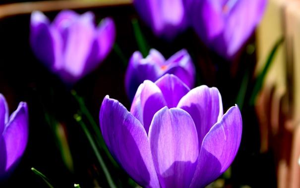 Фото обои цветок, поле, луг, лепестки, крокус