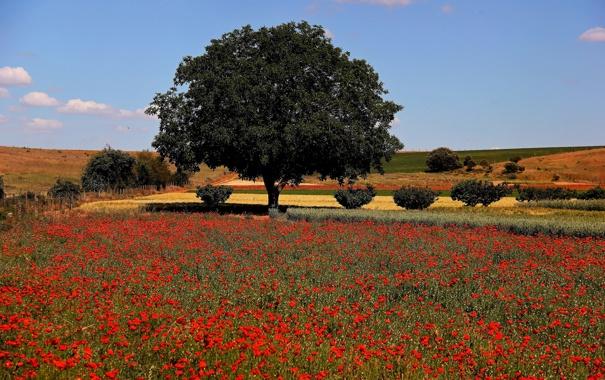 Фото обои поле, небо, деревья, цветы, холмы, маки, луг