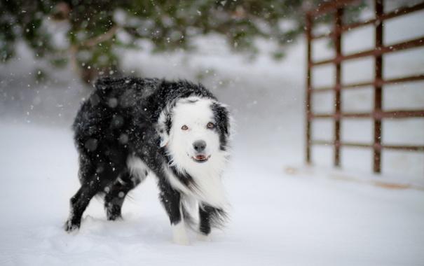 Фото обои зима, снег, собака