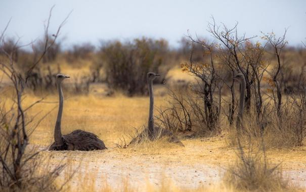 Фото обои природа, Африка, страусы