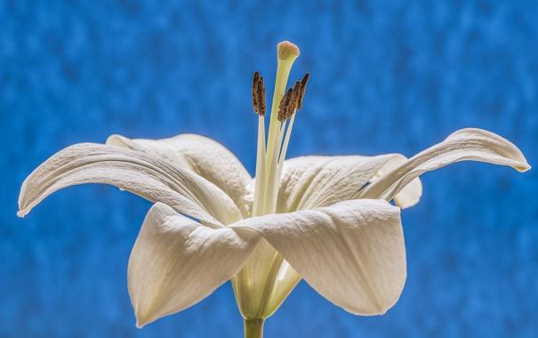 Фото обои макро, природа, лилия, лепестки, тычинки