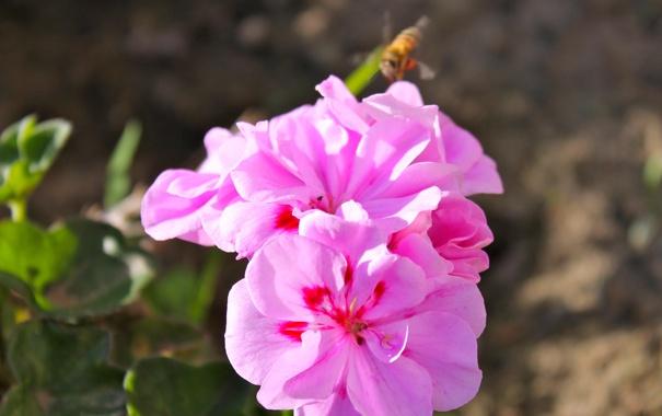 Фото обои макро, природа, пчела, розовые цветы