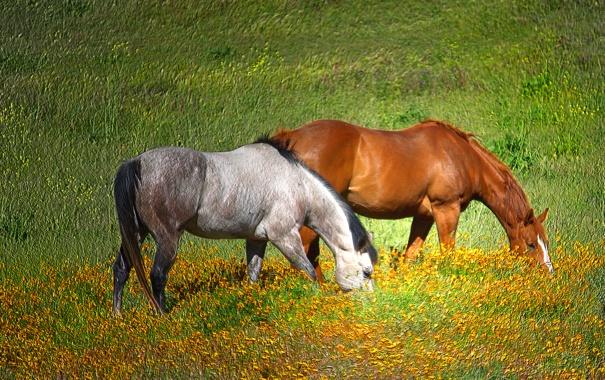 Фото обои зелень, трава, солнце, обработка, лошади, пастбище, луг